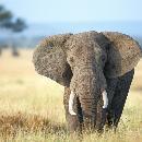 Anonymus Elephant