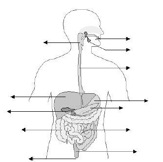Diagrama Del Aparato Digestivo Sin Nombres Limastanitocom