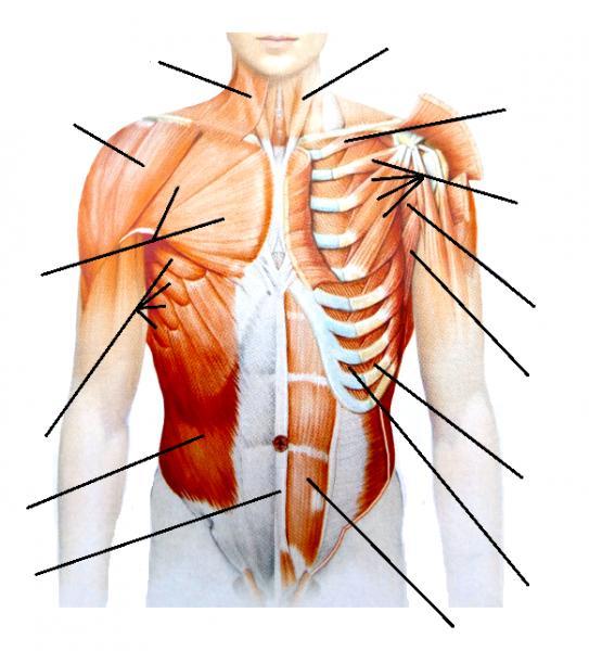 Mapa Interactivo Músculos cintura escapular. biología. JOSÉ C...