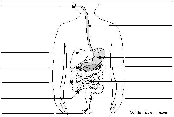 Imprimir Sistema Digestivo Biología Itzel Castillo Educaplay