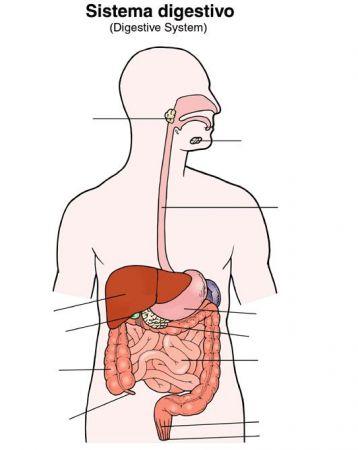 Print Aparato Digestivo y sus partes. sistema digestivo. Jose Garcia...