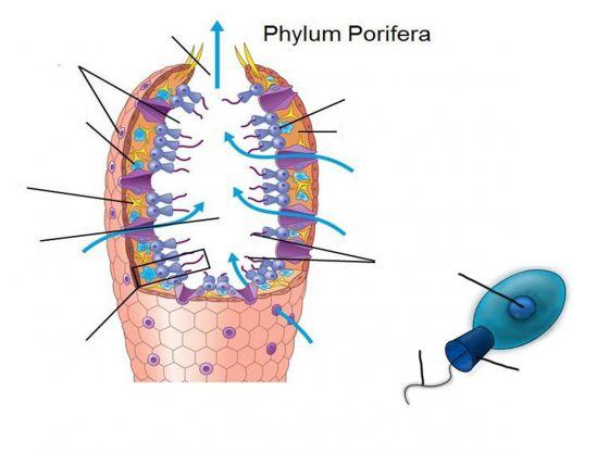 Imprimir Anatomia Filum Poríferos III. biología. Fernando Herranz ...