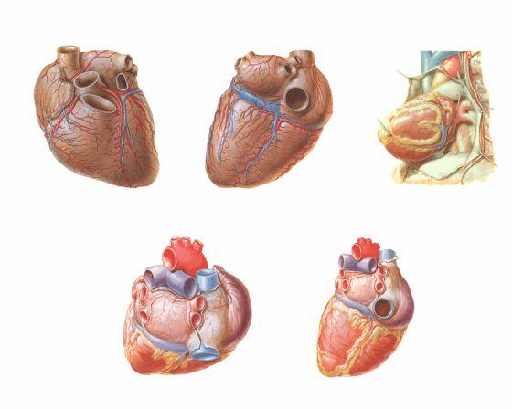 Print anatomía externa del corazón. anatomia externa del corazon. ca...