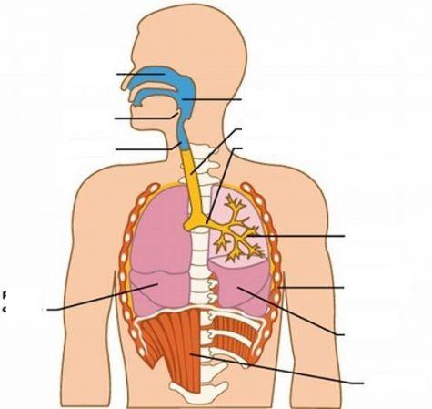 Sistema Respiratorio y Partes del Aparato Respiratorio con Imagenes