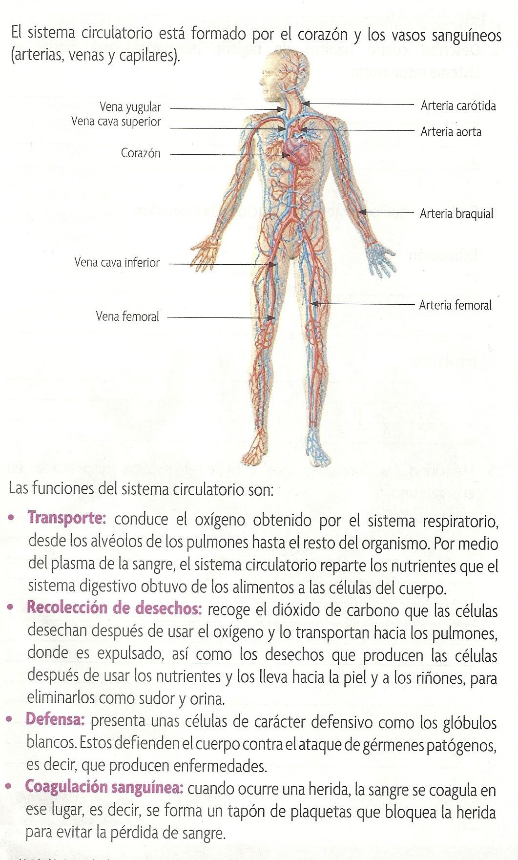 Dorable Vena Braquial Composición - Imágenes de Anatomía Humana ...