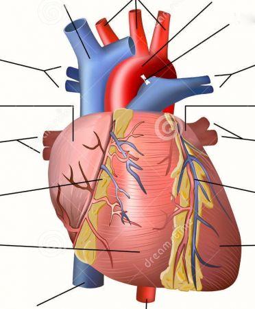 Verwonderend Map Quiz: het hart de anatomie (health - anatomie - hart - hart DU-14