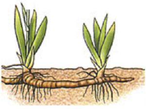 Reproduccion asexual de los rizomas