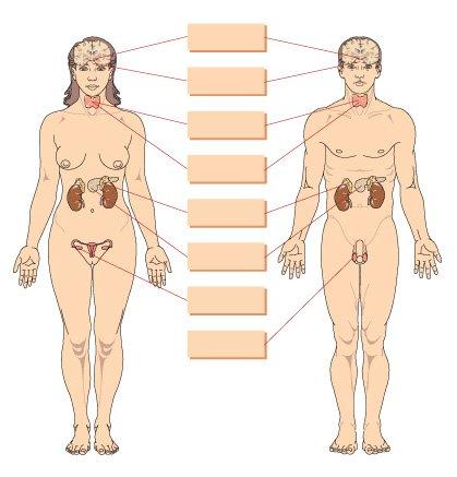 Imprimir Glándulas endocrinas. biología. Ana Pérez - Educaplay