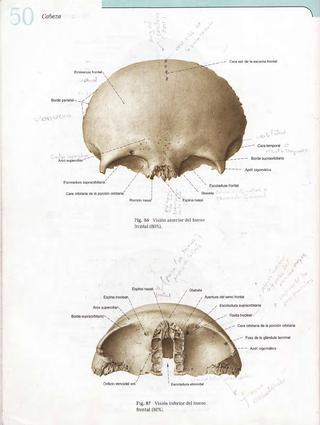 Imprimir hueso frontal. medicina. Paola Maribel Moran Hernandez ...