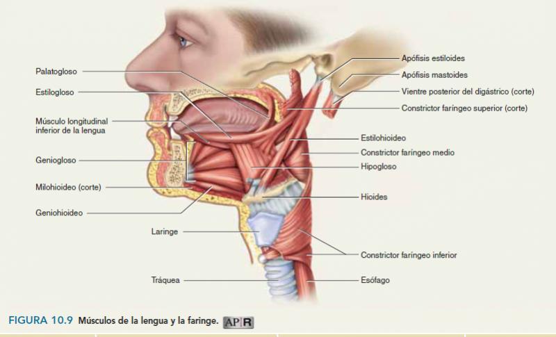 Test Músculos de Cabeza y Cuello. anatomia humana. Charlie Lea...