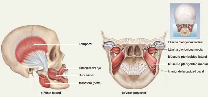 Quiz Músculos de Cabeza y Cuello. anatomia humana. Charlie Lea...