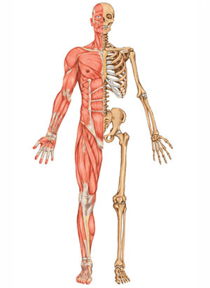 Présentation presentación sistema oseo. sistema óseo o esquel...