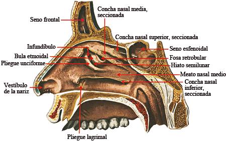 Asombroso Estructura Nariz Anatomía Motivo - Anatomía y Fisiología ...