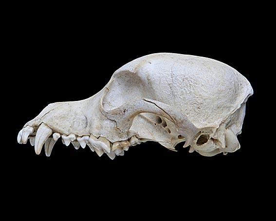 Print test osteologia y artrologia craneo de perro. biología. Samu...